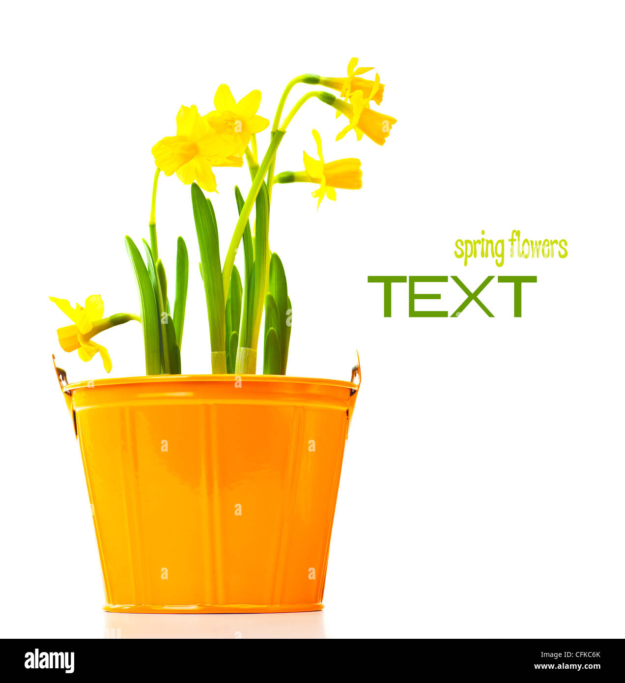 Pot of narcissus flower fresh spring plant easter and mothers day pot of narcissus flower fresh spring plant easter and mothers day gift vase of yellow flowers isolated over white background mightylinksfo