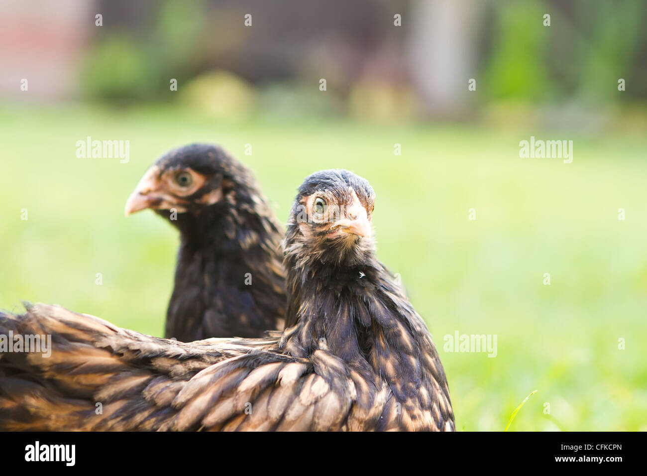 pekin bantams - Stock Image
