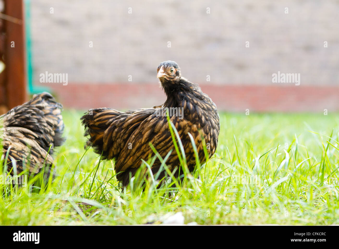 peking bantam - Stock Image