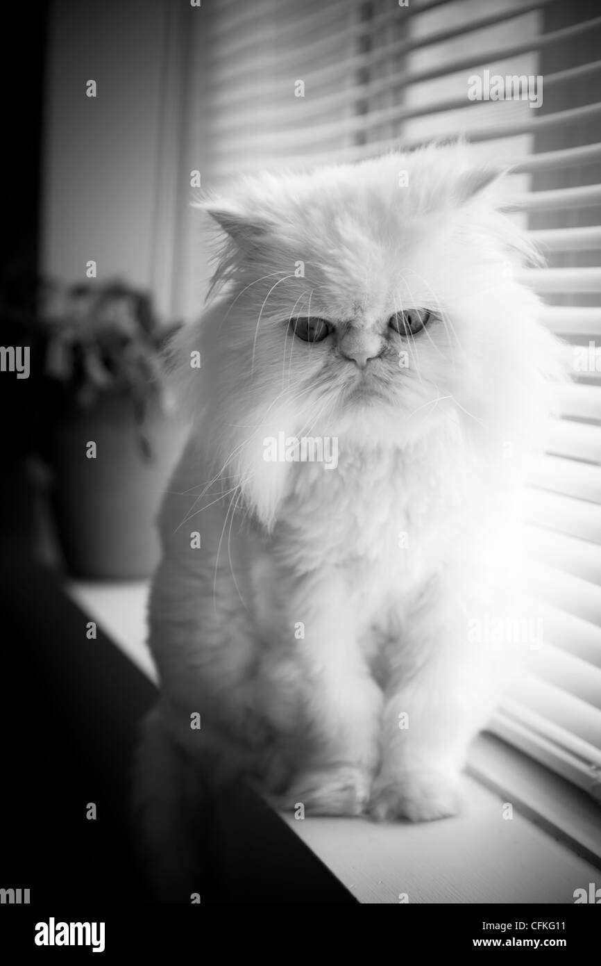 White persian himalayan cat sit near a window with nobody - Stock Image