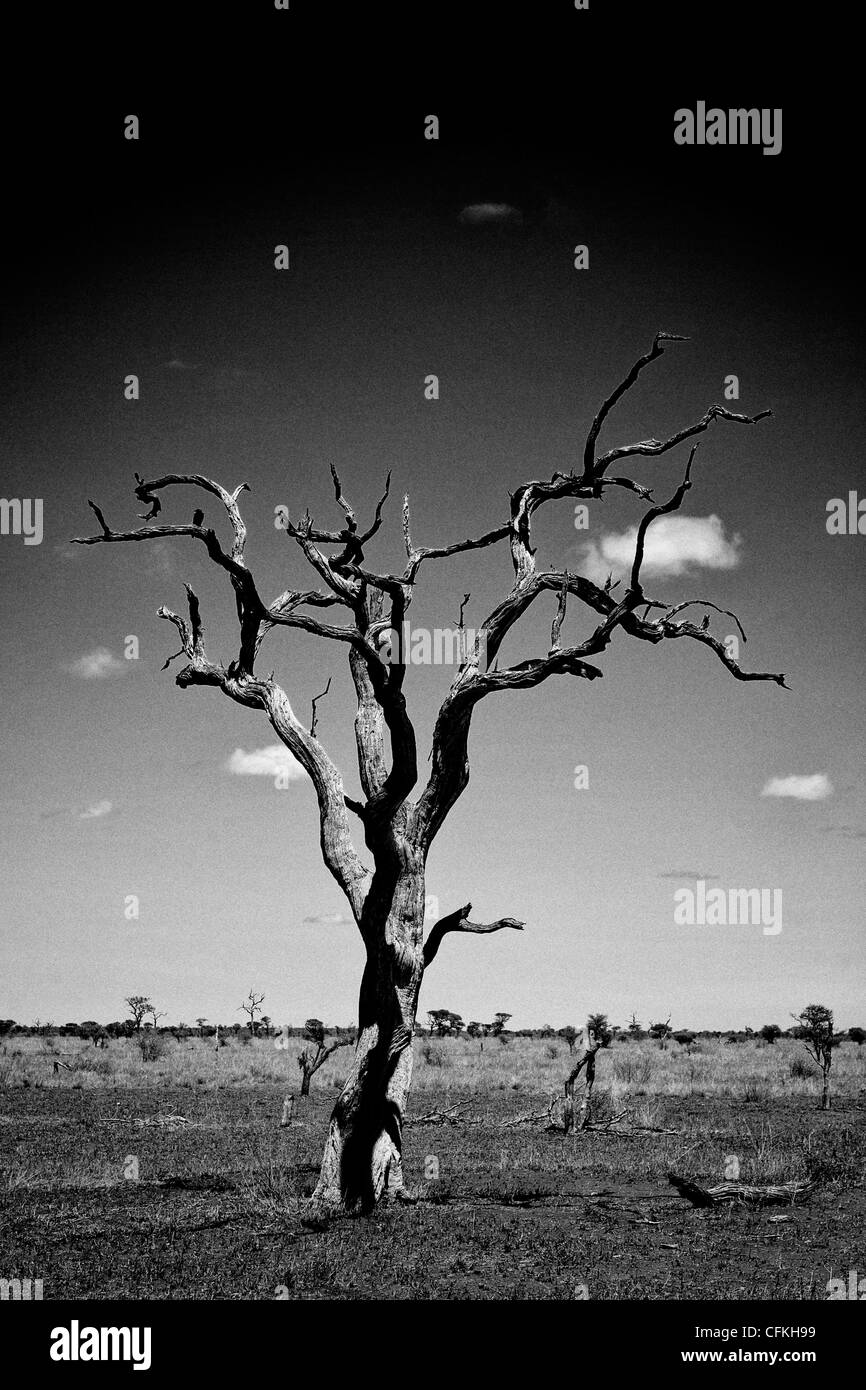 A bare tree on the African stands on the African savannah. - Stock Image