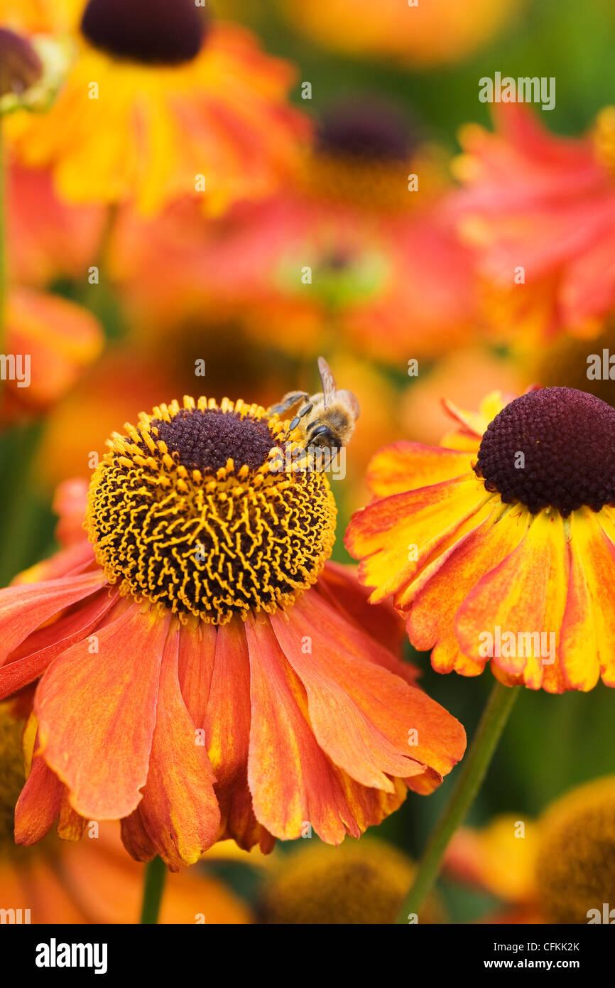 Helenium 'Moerheim Beauty'. A honeybee on Sneezeweed flowers in the garden. - Stock Image