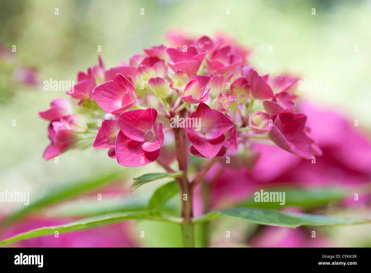Hydrangea macrophylla 'Vorster Fruhro'. - Stock Image