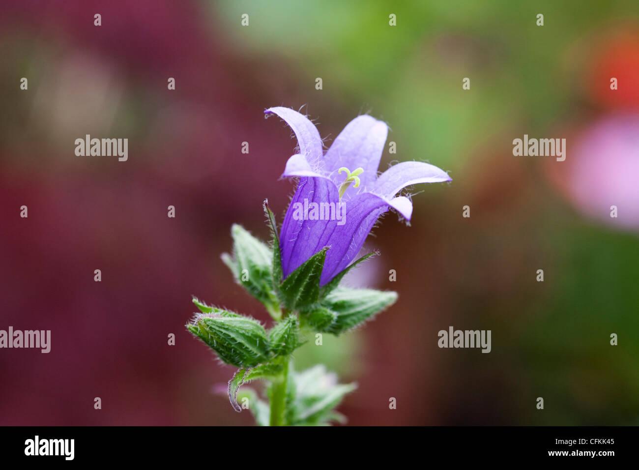 Campanula trachelium. Nettle leaved bellflower. - Stock Image