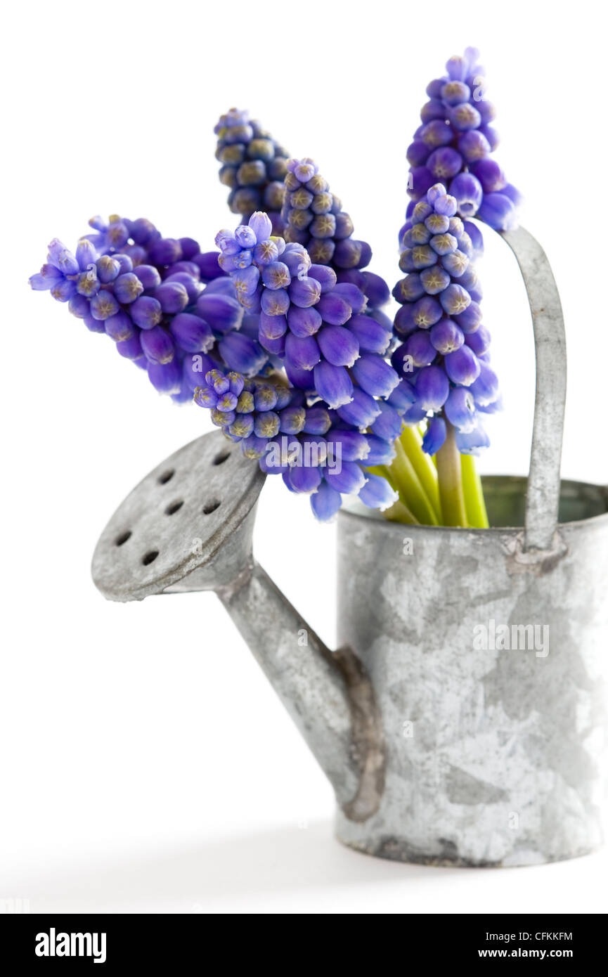 muscari or grape hyacinth isolated on a white background - Stock Image