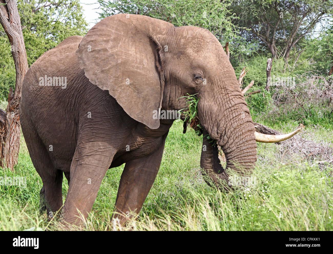 Elephant, wildlife in South Africa, Elephantidae - Stock Image
