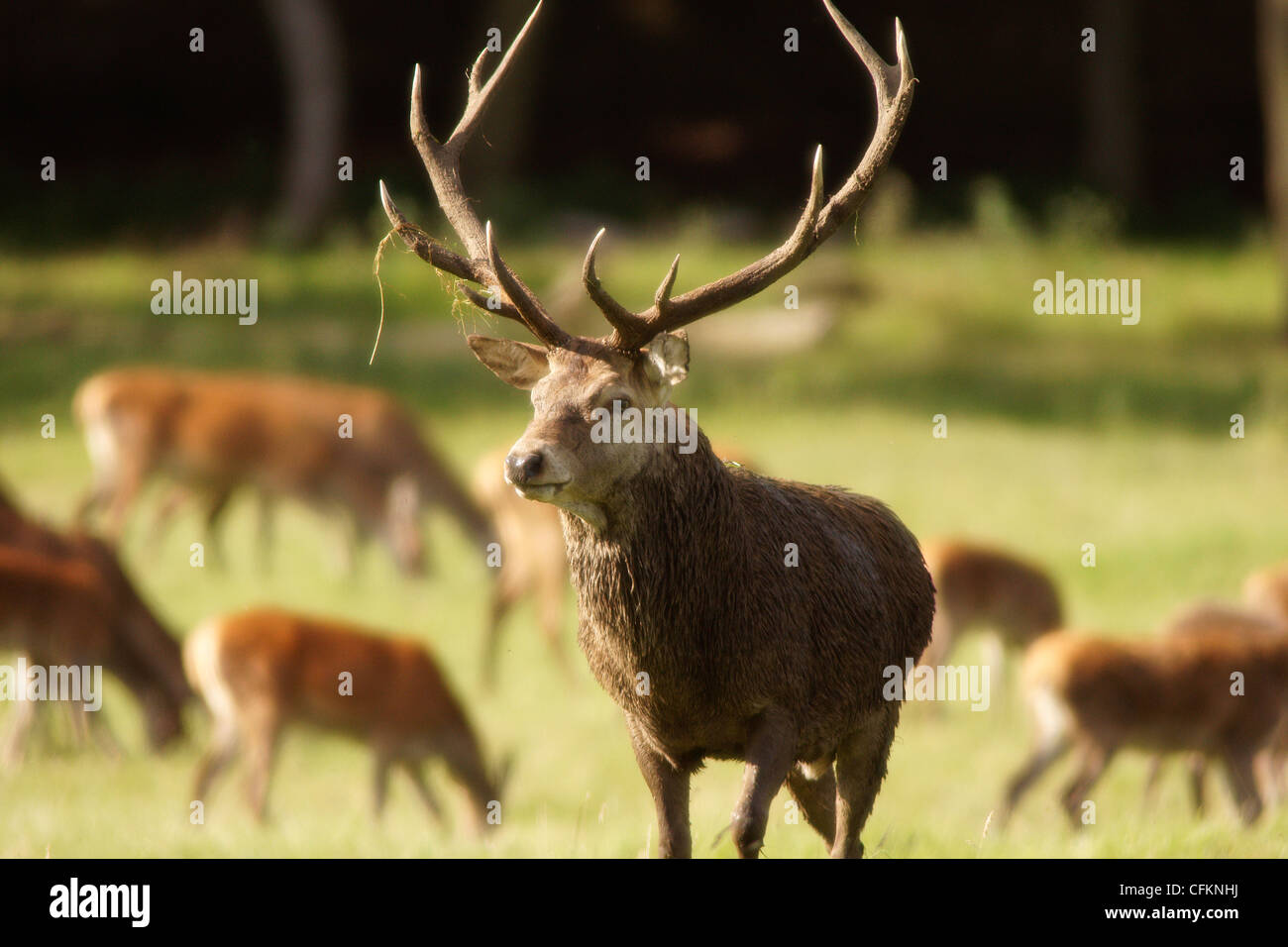Red Deer Stag Cervus Elaphus - Stock Image