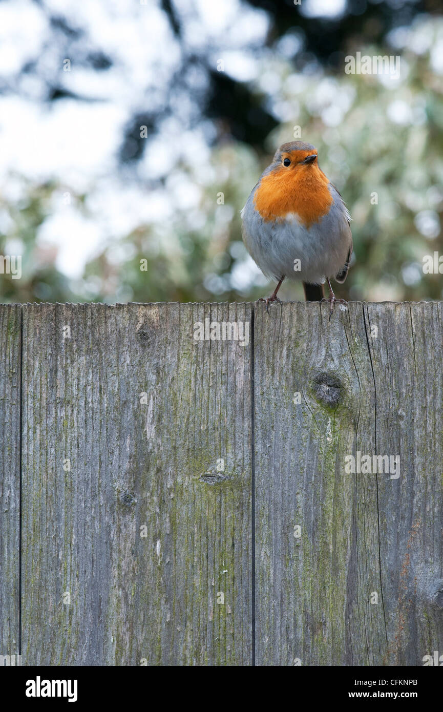Robin on a garden fence in an english garden in march. UK - Stock Image