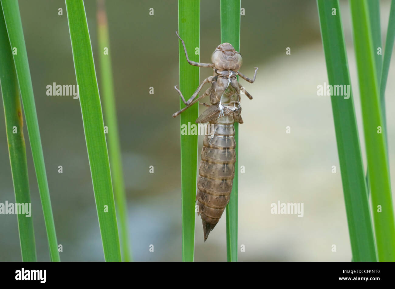 Exuviae of an Emperor dragonfly on water side reeds - Stock Image