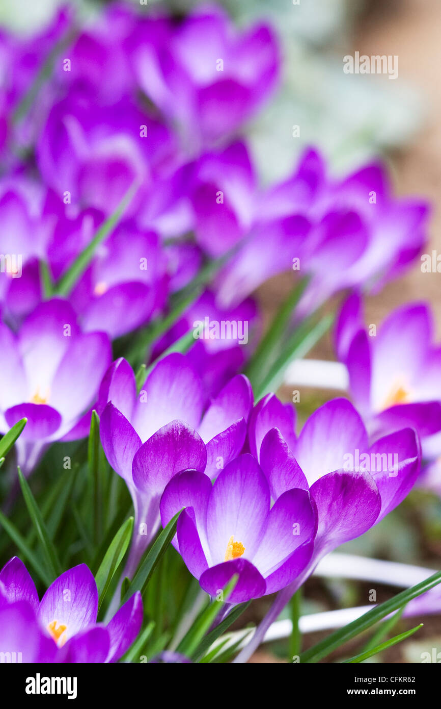 Crocus lining the edge of a pathway in early Spring. - Stock Image