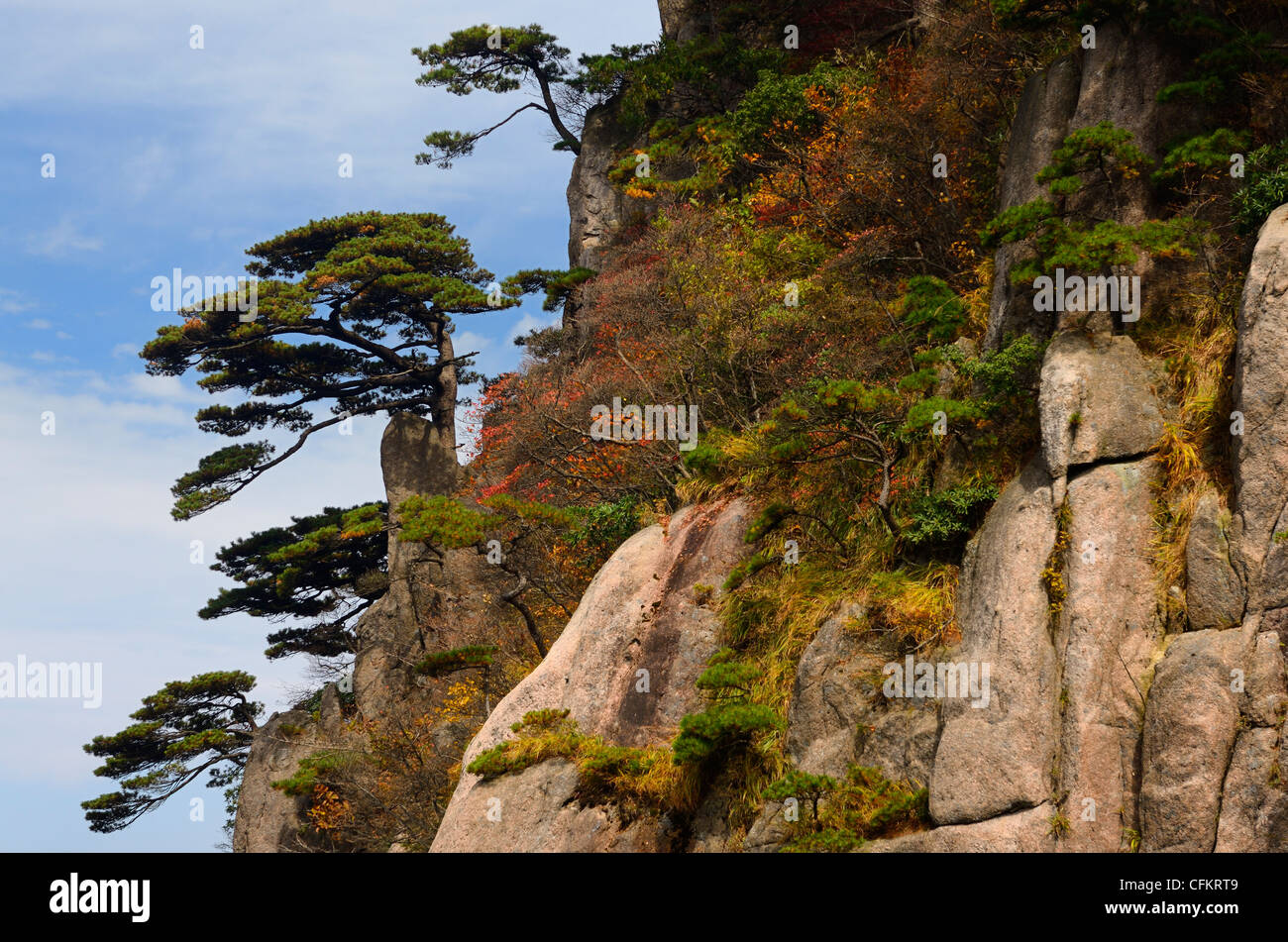 Pines on cliff of Beginning to Believe Peak with Fall foliage Mount Huangshan Yellow Mountain Peoples Republic of - Stock Image