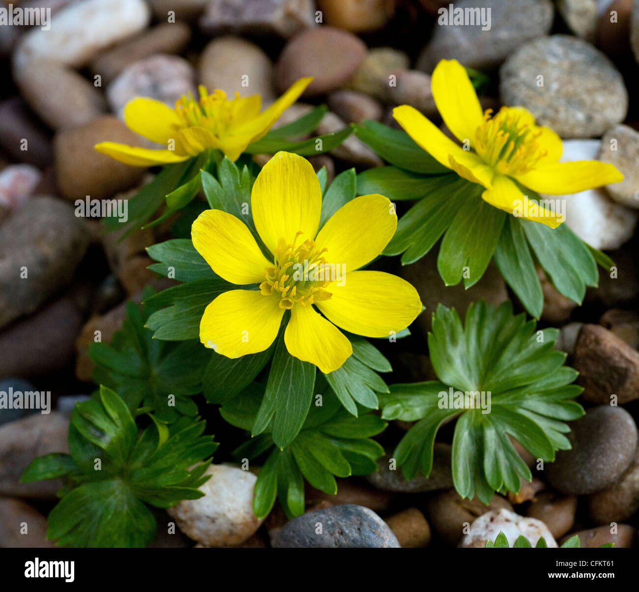 The Bright Yellow Flowers Of Winter Flowering Aconite In A Garden On