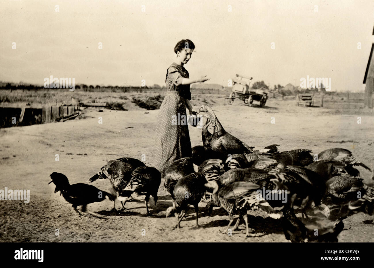 Farmer's Wife Feeding Turkey Flock - Stock Image