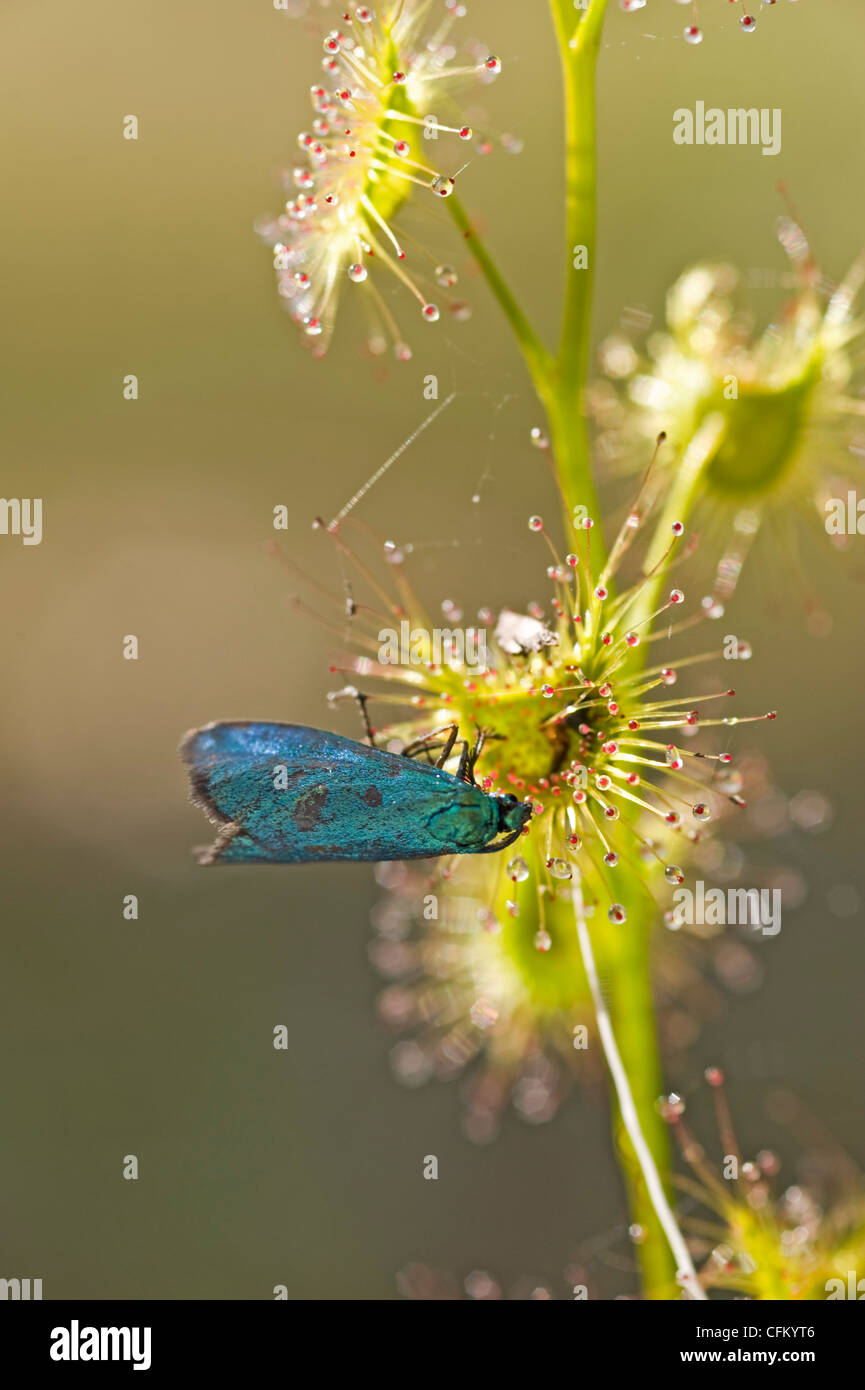 Trapped! Metallic moth caught by sticky sundew - Stock Image