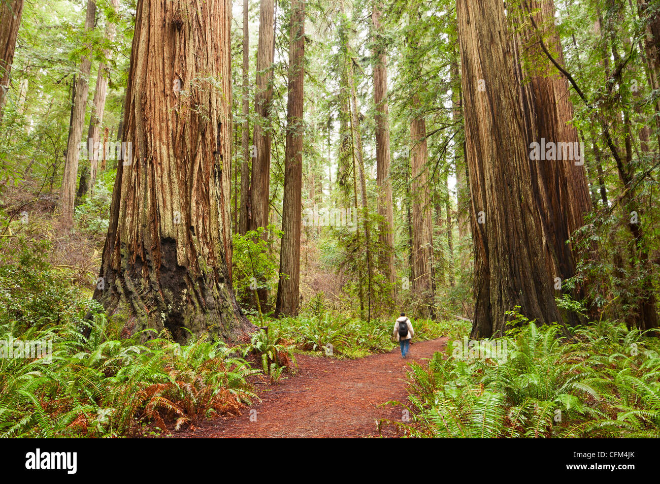 The beautiful and massive giant redwoods, Sequoia sempervirens located in the Jedediah Smith Redwoods State Park - Stock Image