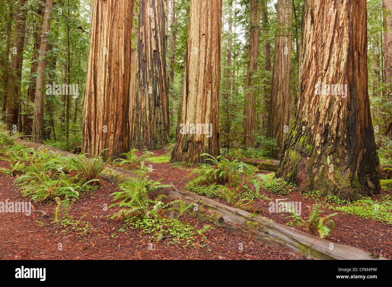 The beautiful and massive giant redwoods, Sequoia sempervirens located in the Jedediah Smith Redwoods State Park Stock Photo
