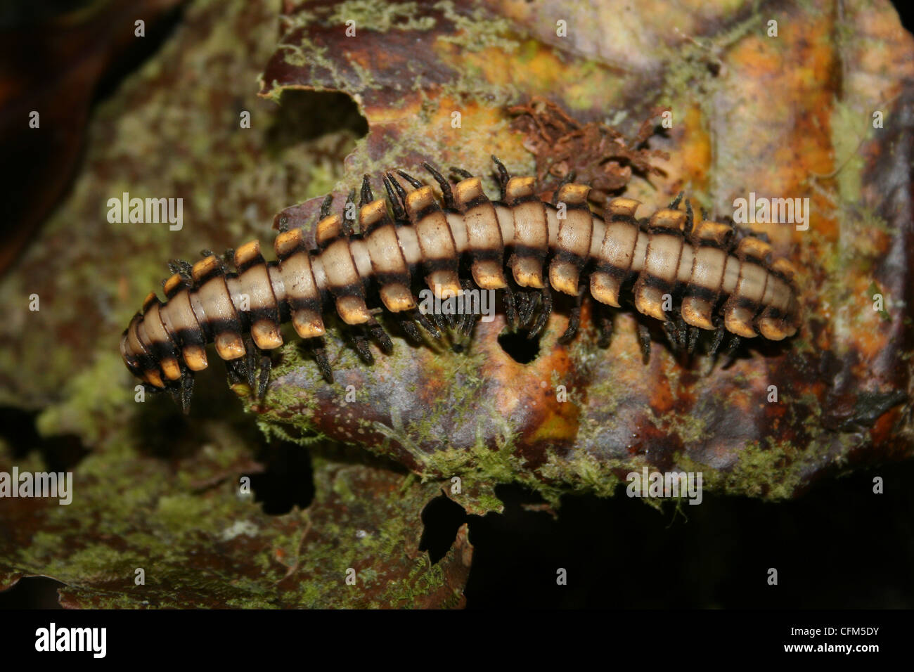 Yellow-banded Millipede - Stock Image