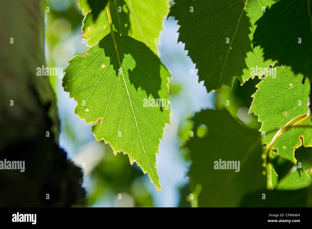 Close up of Birch Leaves in the Summer Sun - Stock Image