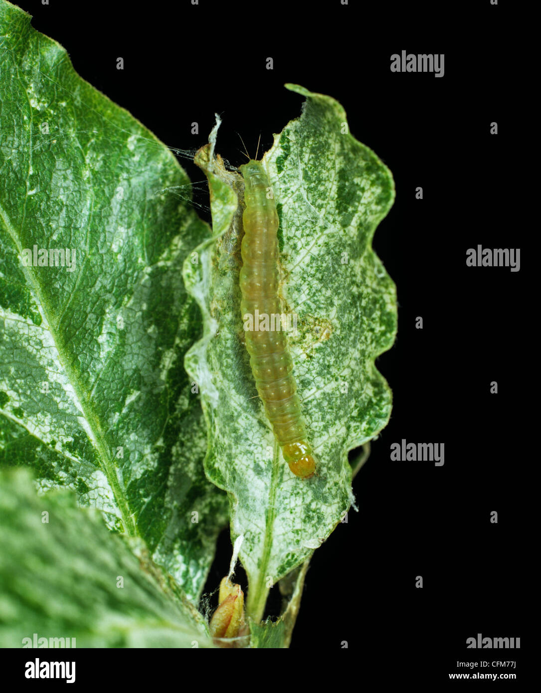 Carnation tortrix (Cacoecimorpha pronubana) caterpillar in Pittosporum leaves - Stock Image