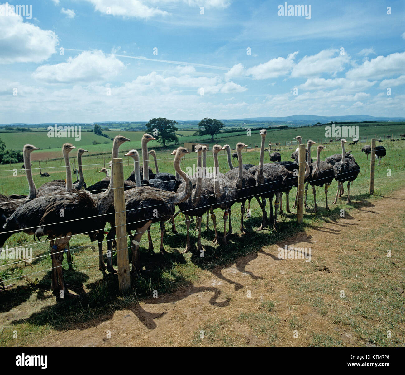 Several female ostriches behind a high wire fence in an enclosure - Stock Image