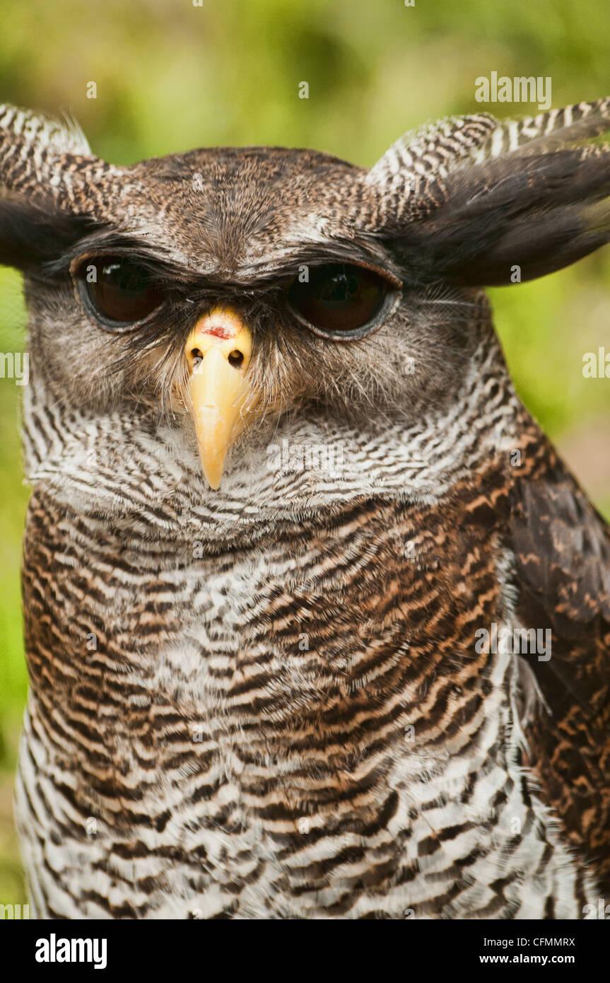 Malay eagle owl, Malaysia - Stock Image