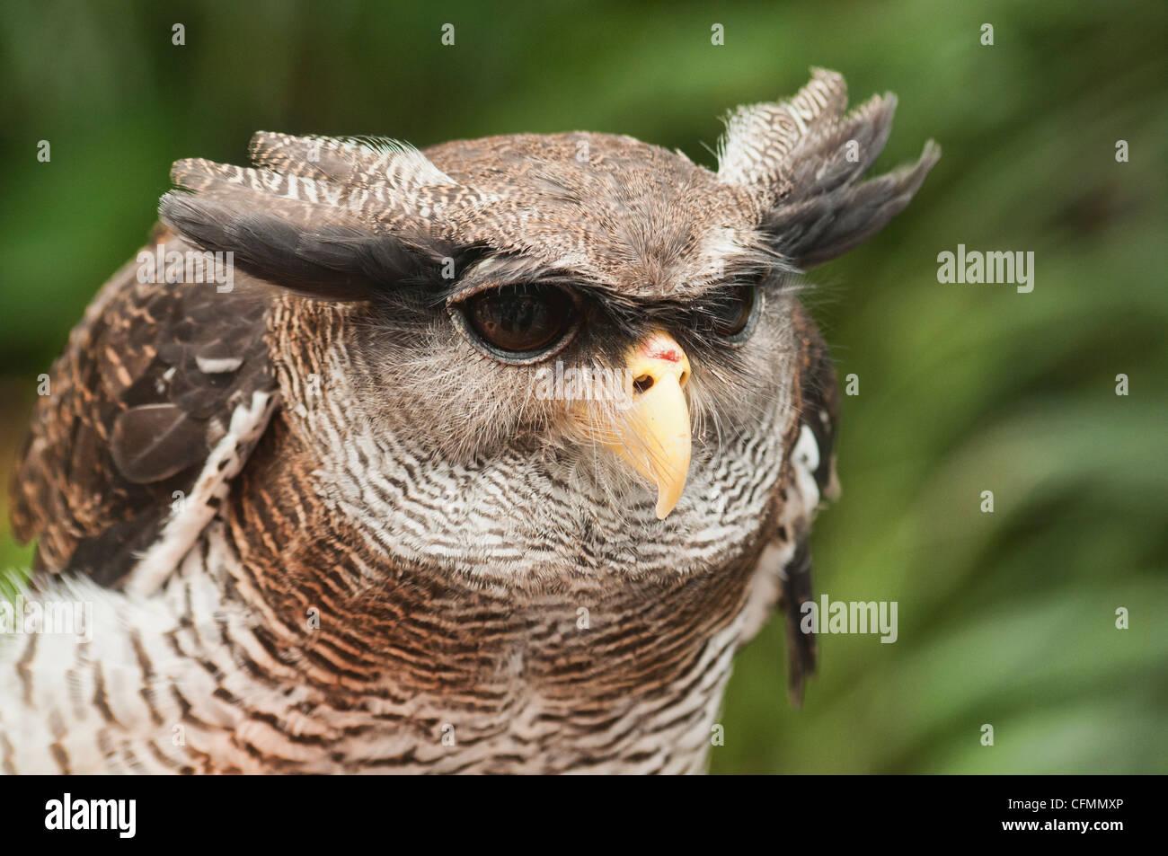 Malay eagle owl, Malaysia Stock Photo