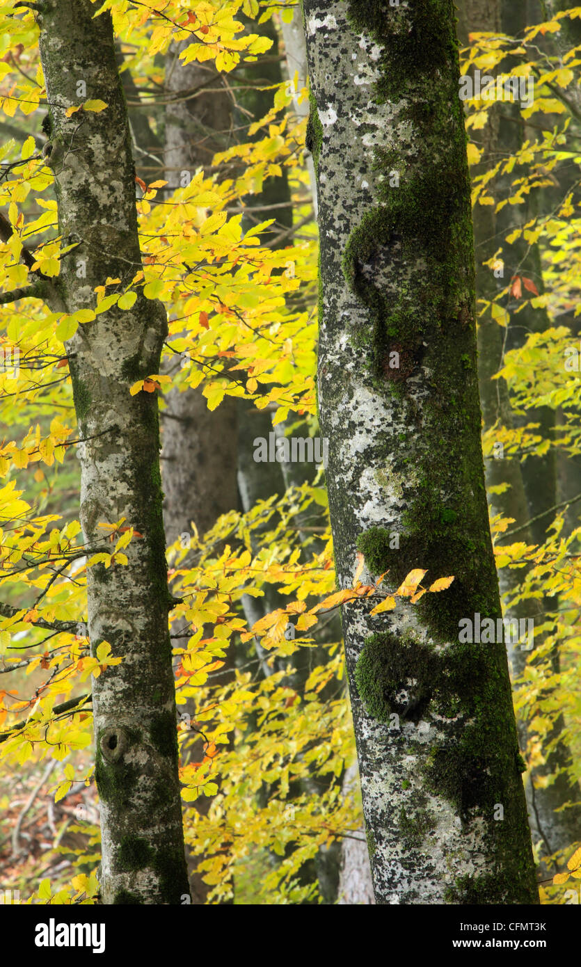 Beech forest in autumn in Ribcev Laz, Slovenia - Stock Image