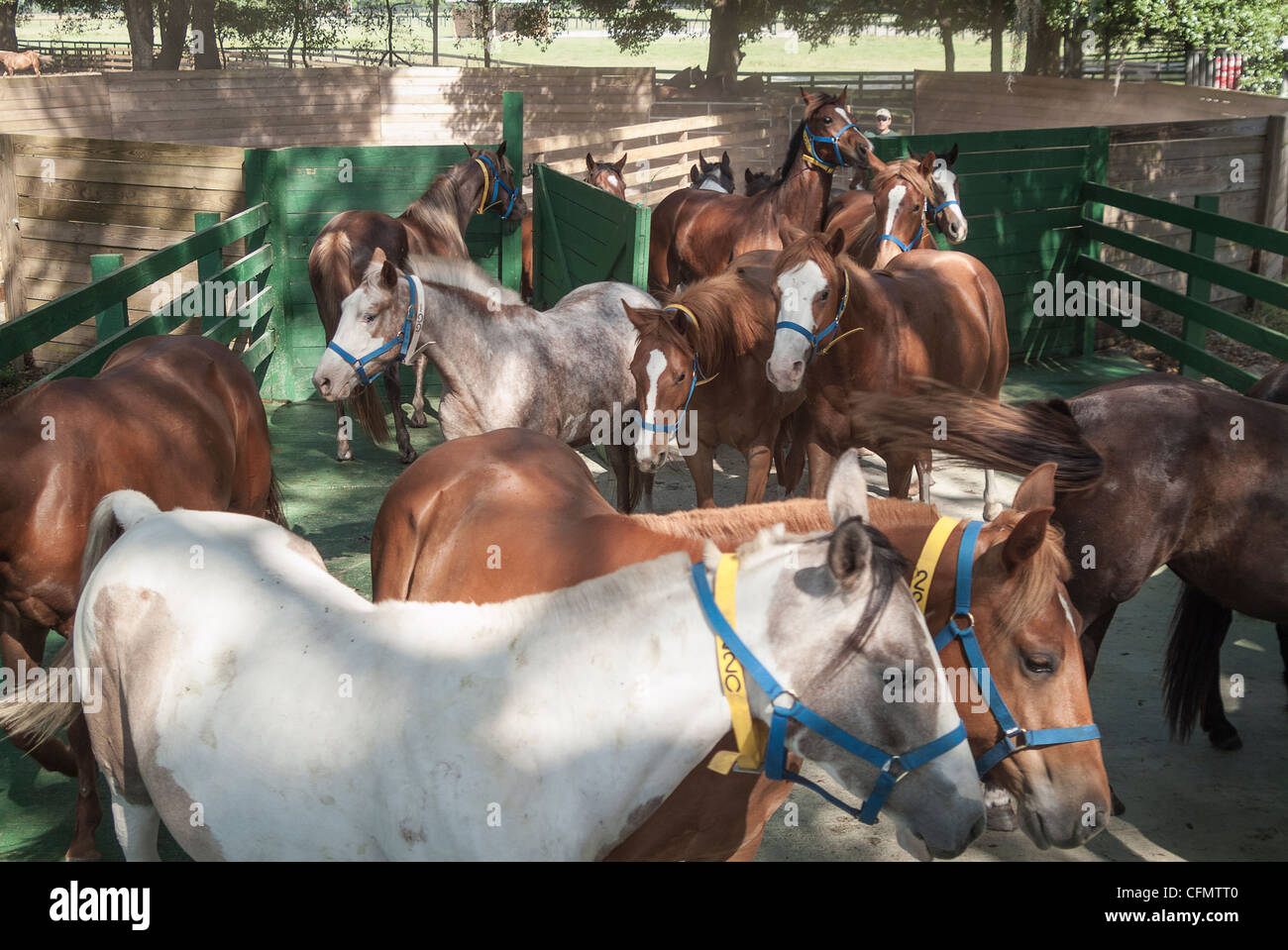 Mares Being Herded Along Shute At Horse Breeding Facility Stock Photo Alamy