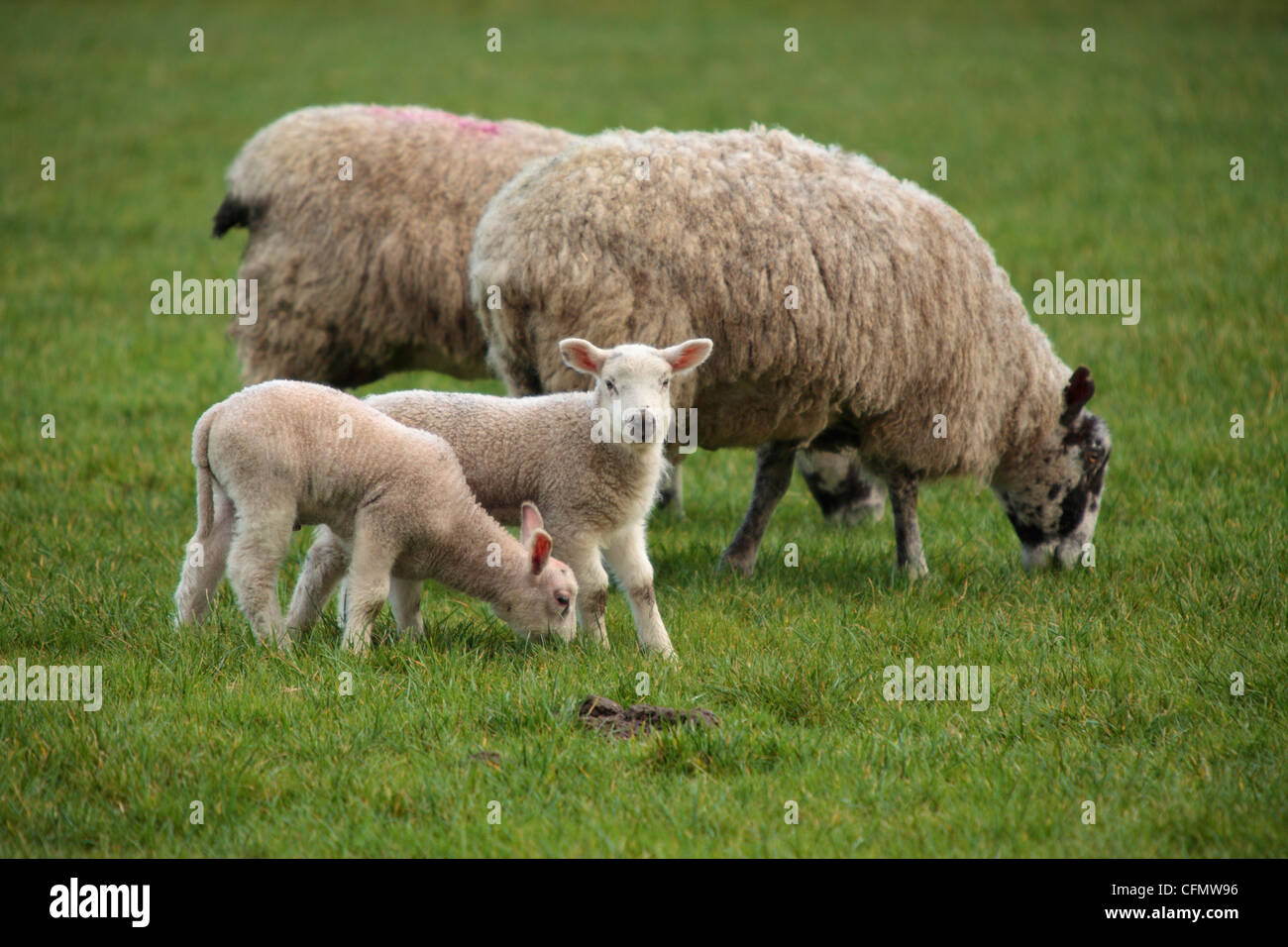 Two ewes and two lambs in a field in Nidderdale, Yorkshire - Stock Image