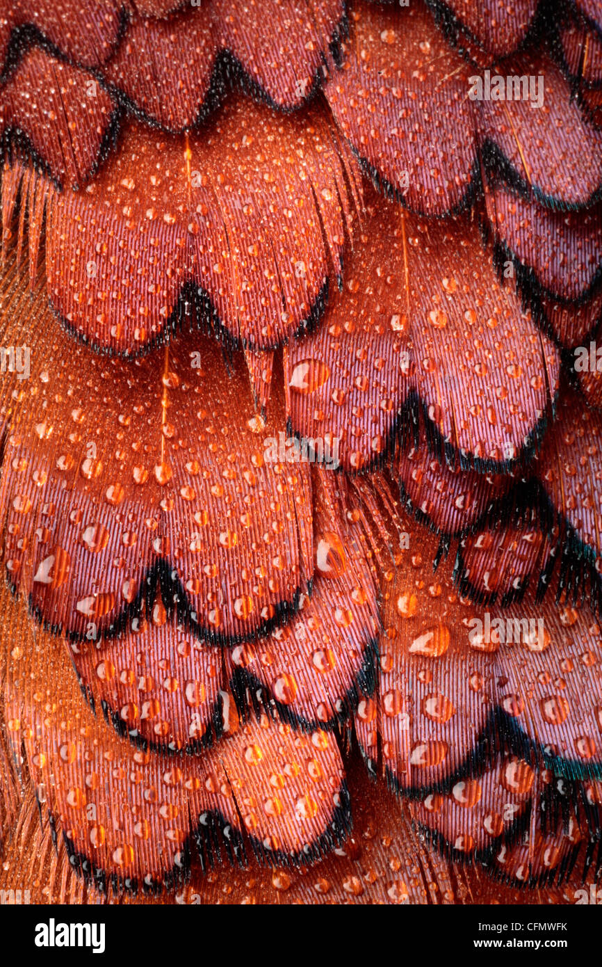 Close up of dew covered plumage on a male pheasant - Stock Image