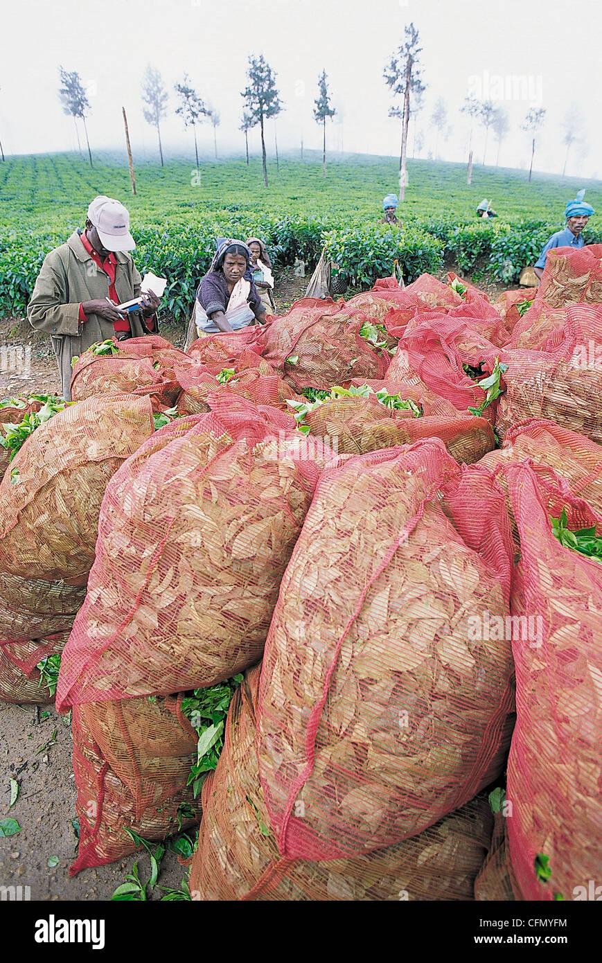 Tea harvesting in Valparai, Western Gats India. - Stock Image