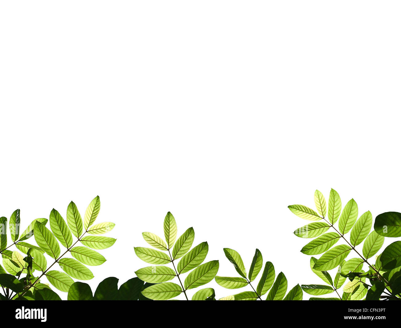 Green leafs isolate on white background - Stock Image