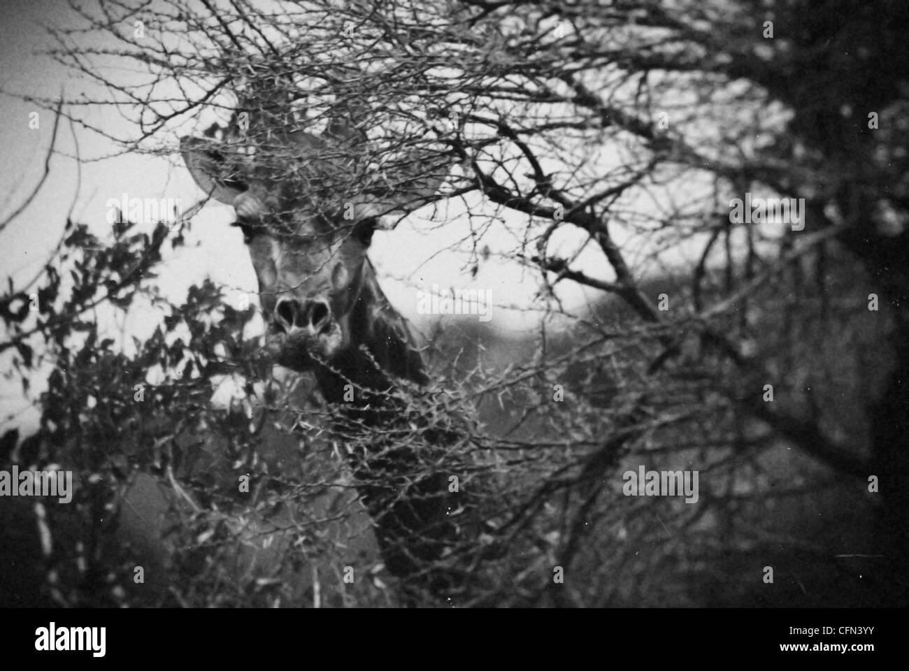 A giraffe in Botswana - Stock Image