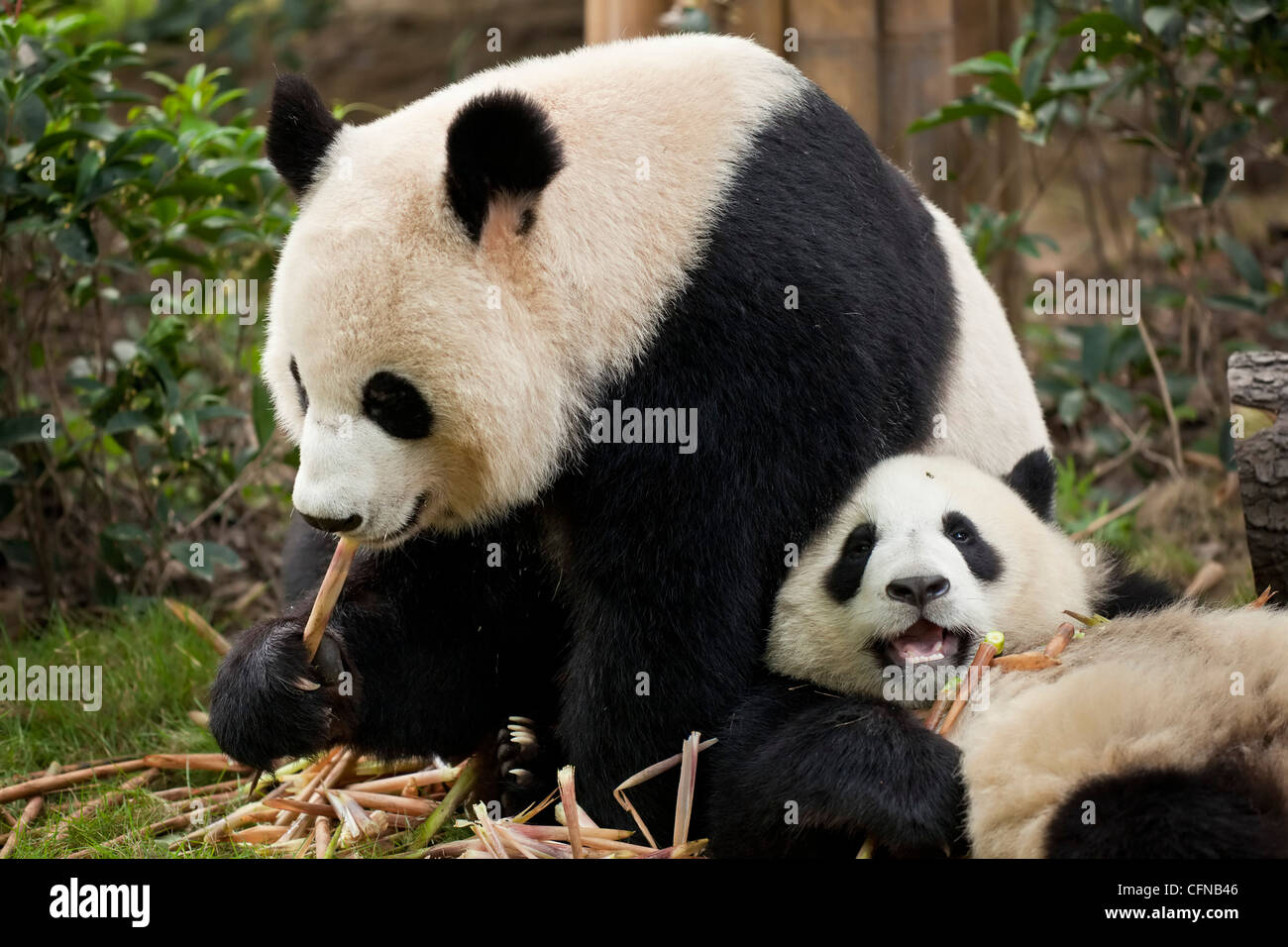Giant Panda cubs (Ailuropoda melanoleuca) Panda Breeding and Research Centre, Chengdu, Sichuan, China, Asia - Stock Image