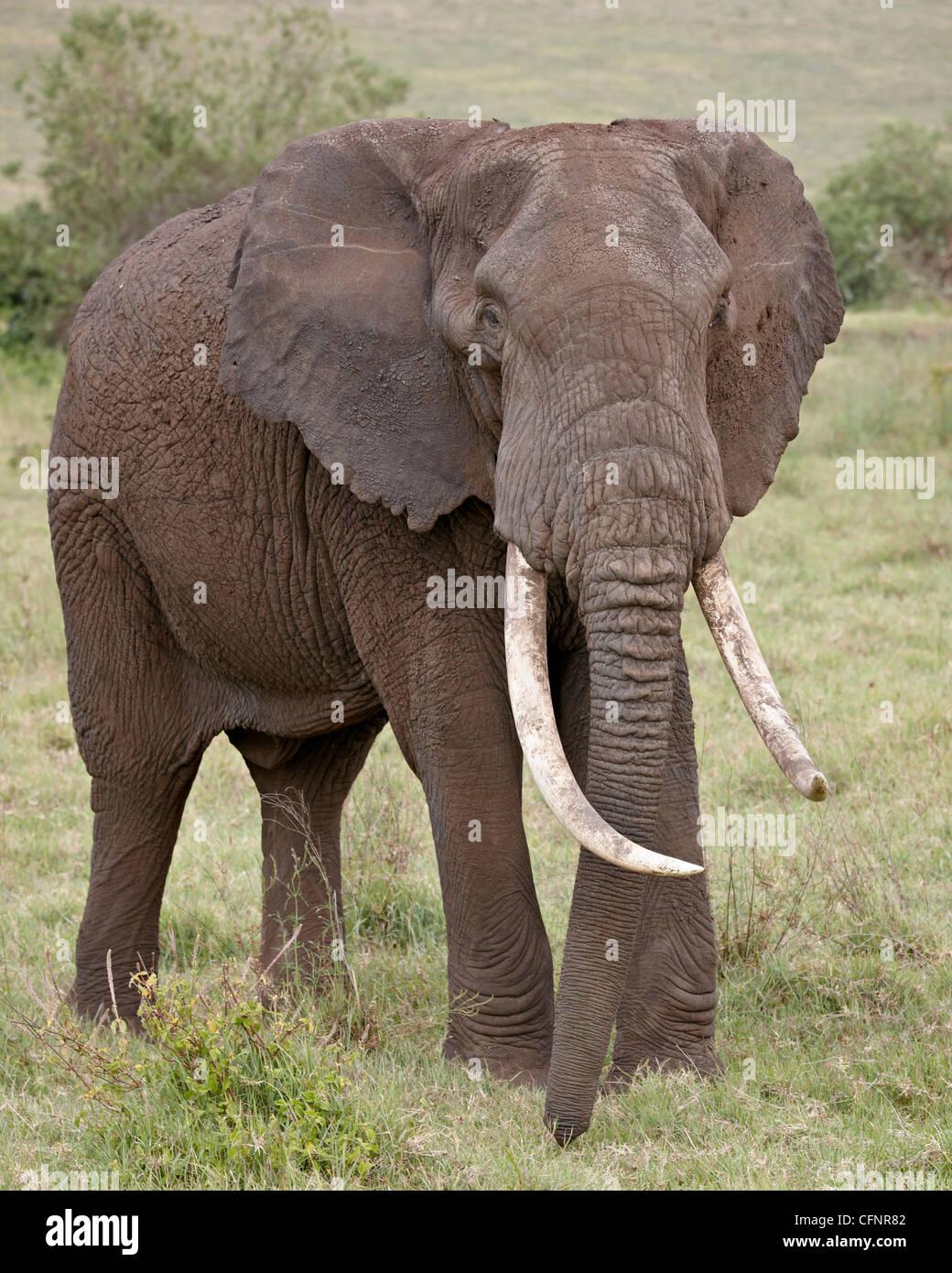 African elephant (Loxodonta africana),Tanzania, East Africa, Africa - Stock Image