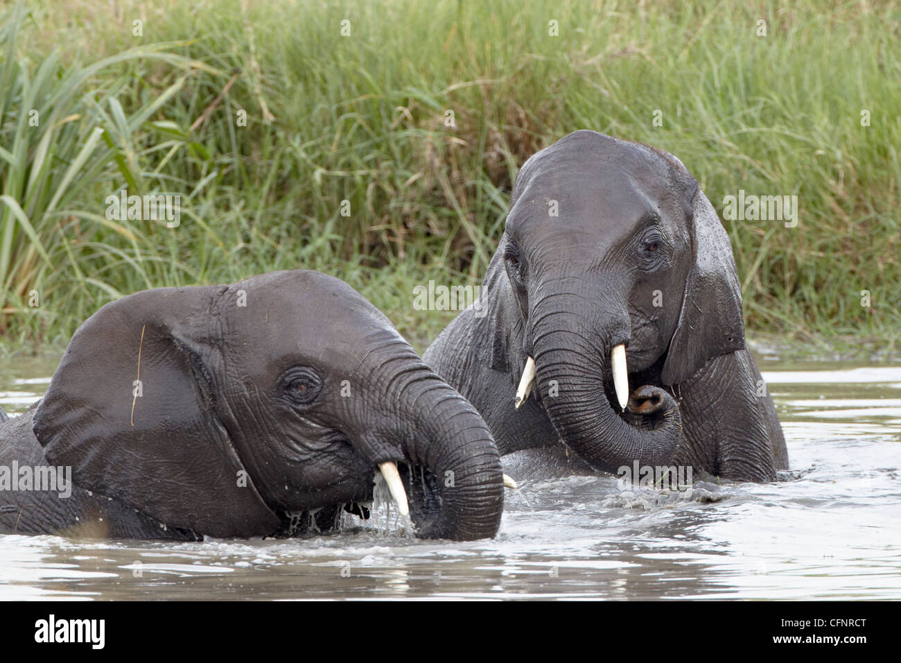 Two young African elephant (Loxodonta africana), Tanzania, East Africa, Africa - Stock Image