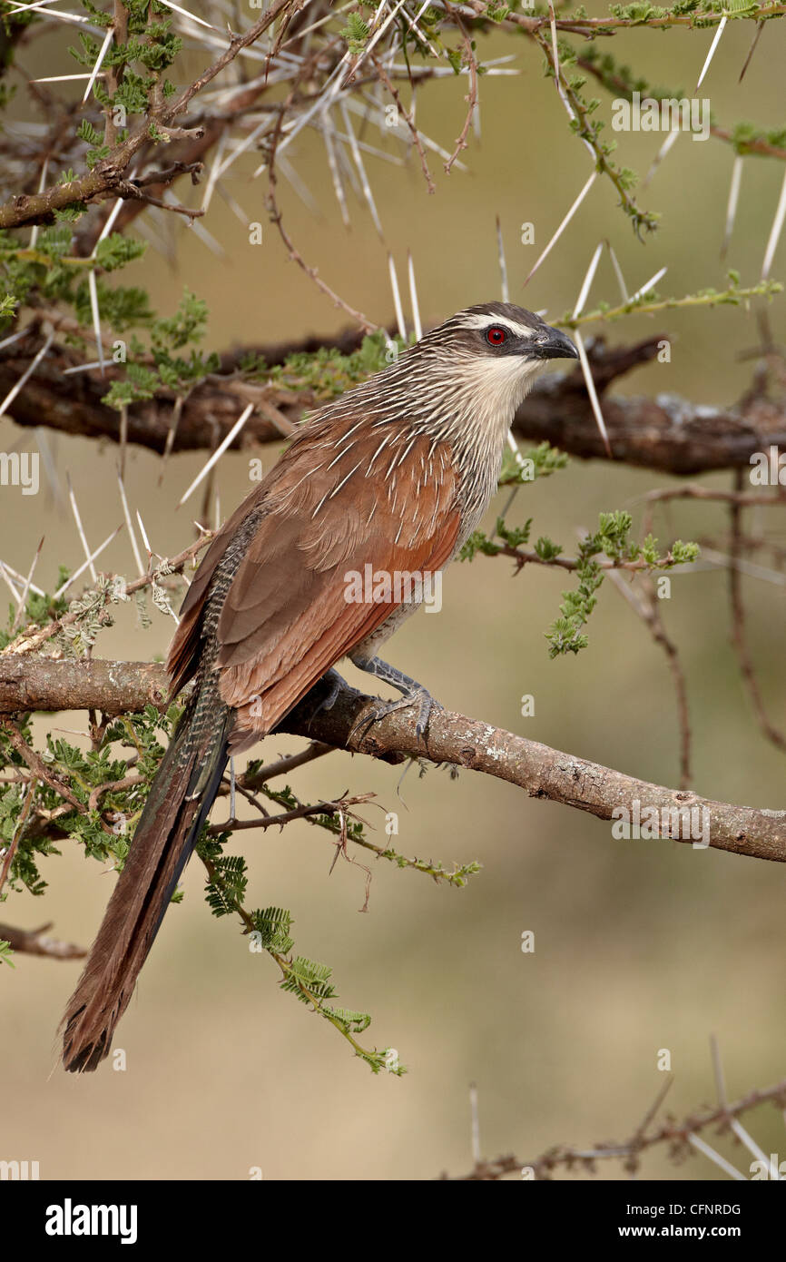 White-browed coucal (Centropus superciliosus), Serengeti National Park, Tanzania, East Africa, Africa - Stock Image