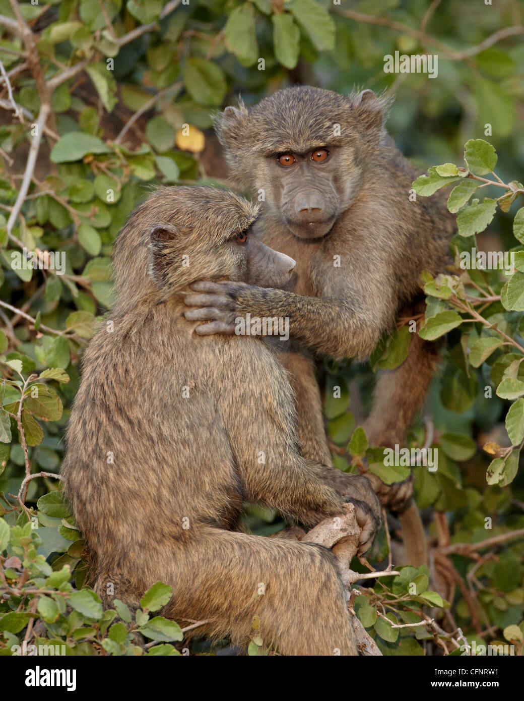 Two young Olive baboons (Papio cynocephalus anubis), Serengeti National Park, Tanzania, East Africa, Africa Stock Photo