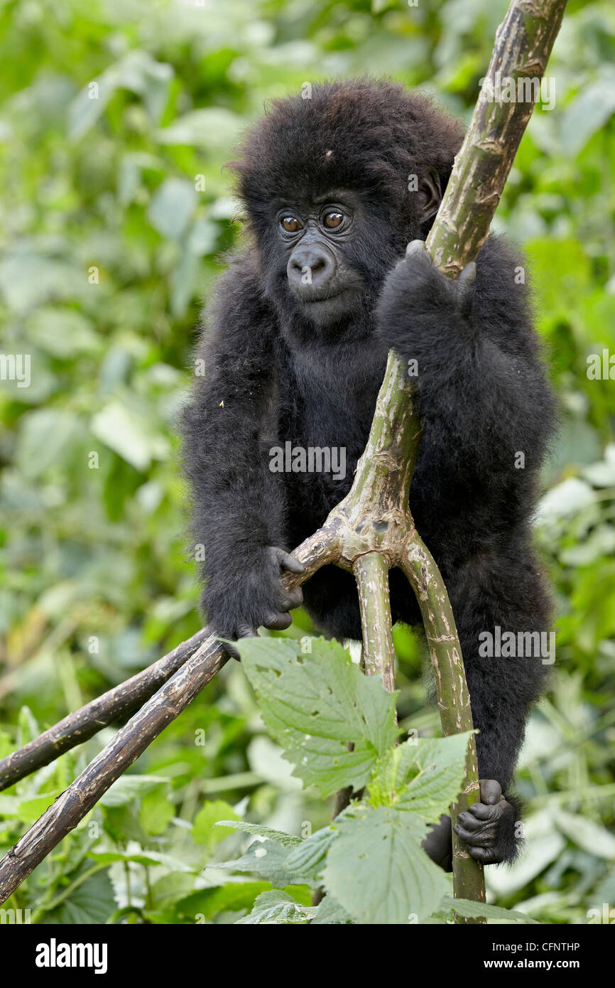 Infant mountain gorilla (Gorilla gorilla beringei), Volcanoes National Park, Rwanda, Africa - Stock Image