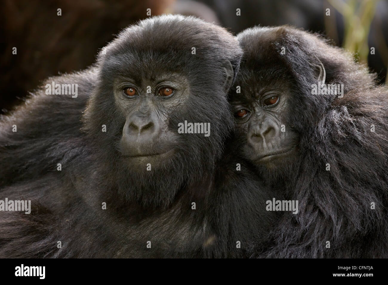 Two juvenile mountain gorillas (Gorilla gorilla beringei) of the Umubano group, Volcanoes National Park, Rwanda, - Stock Image