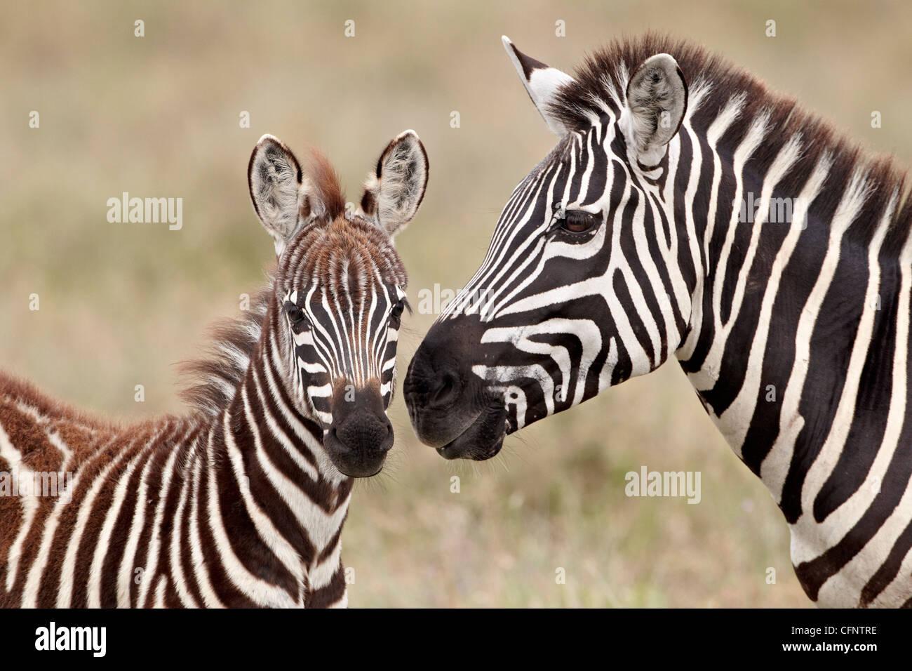 Common zebra or Burchell's zebra (Equus burchelli) foal and mare, Serengeti National Park, Tanzania, East Africa, - Stock Image