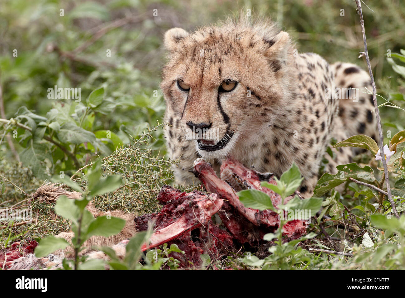 Cheetah (Acinonyx jubatus) cub at a kill ,Serengeti National Park, Tanzania, East Africa, Africa Stock Photo