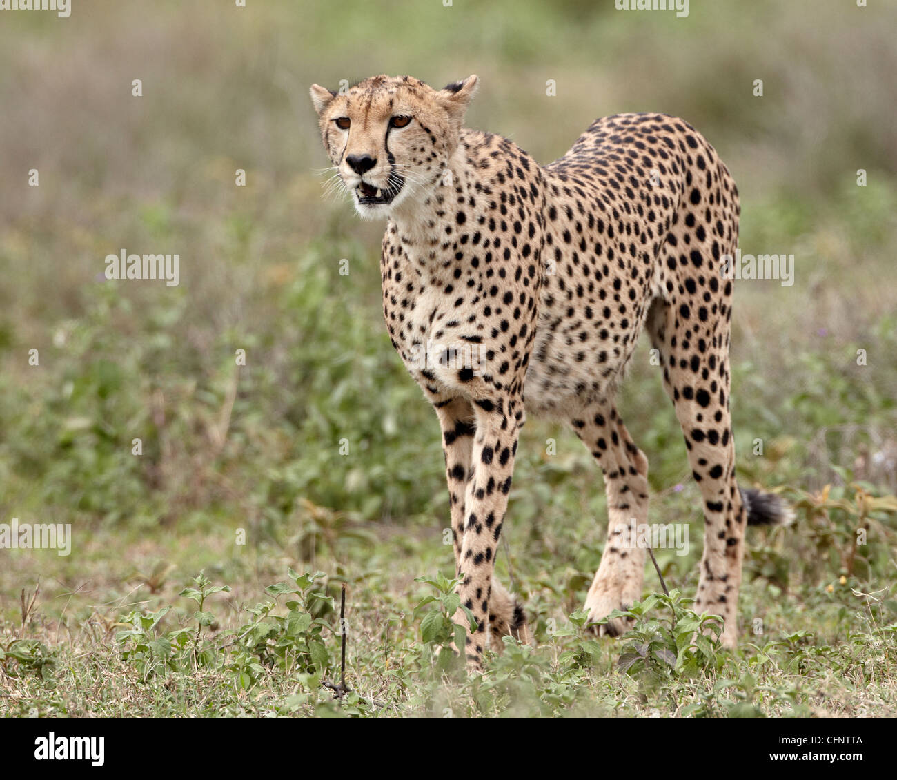 Cheetah (Acinonyx jubatus), Serengeti National Park, Tanzania, East Africa, Africa - Stock Image