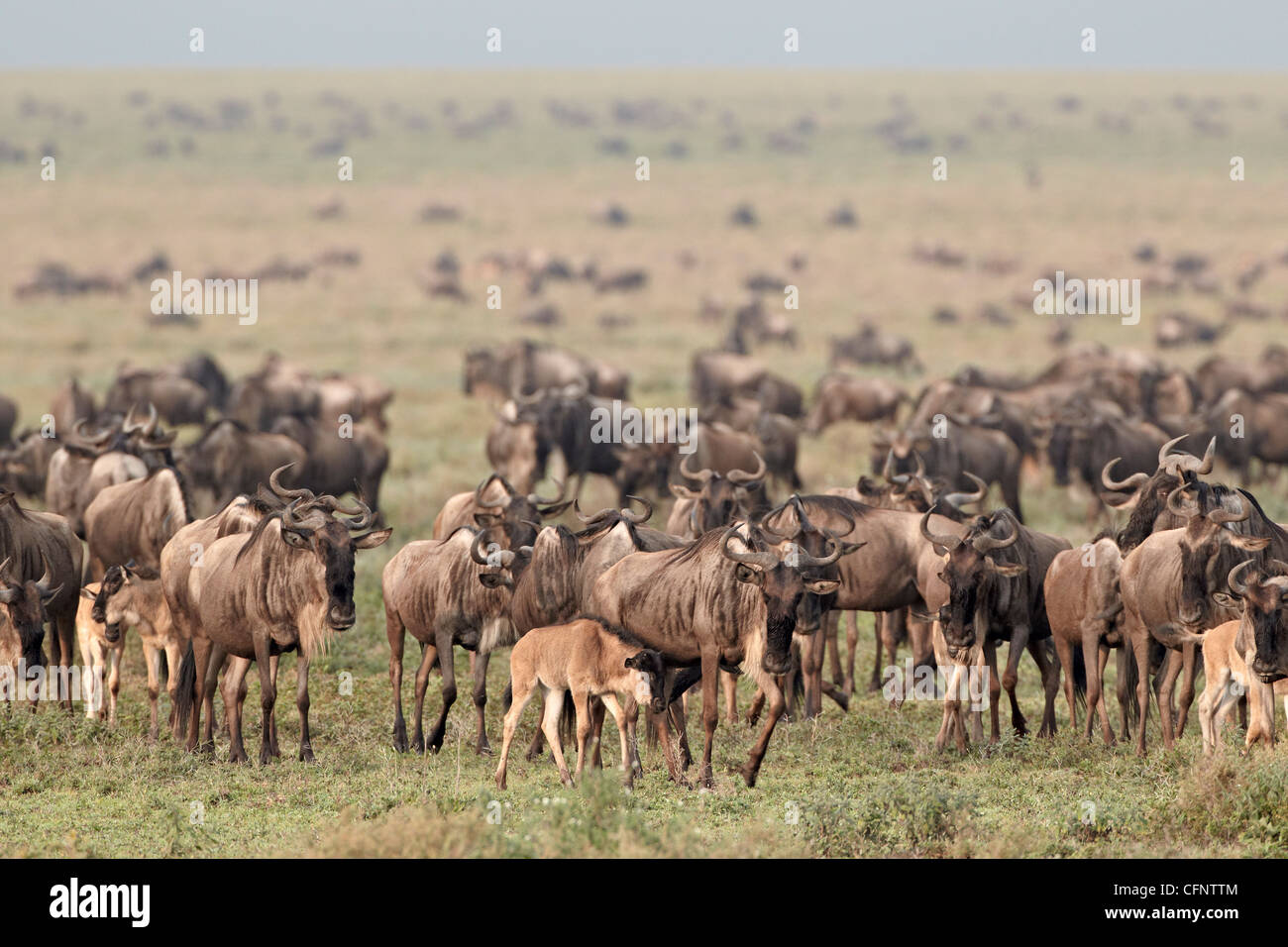 Blue wildebeest (brindled gnu) (Connochaetes taurinus) herd, Serengeti National Park, Tanzania, East Africa, Africa - Stock Image