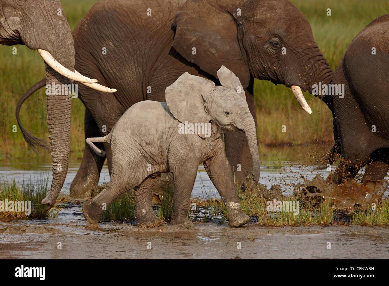 Baby African elephant (Loxodonta africana), Serengeti National Park, Tanzania, East Africa, Africa - Stock Image