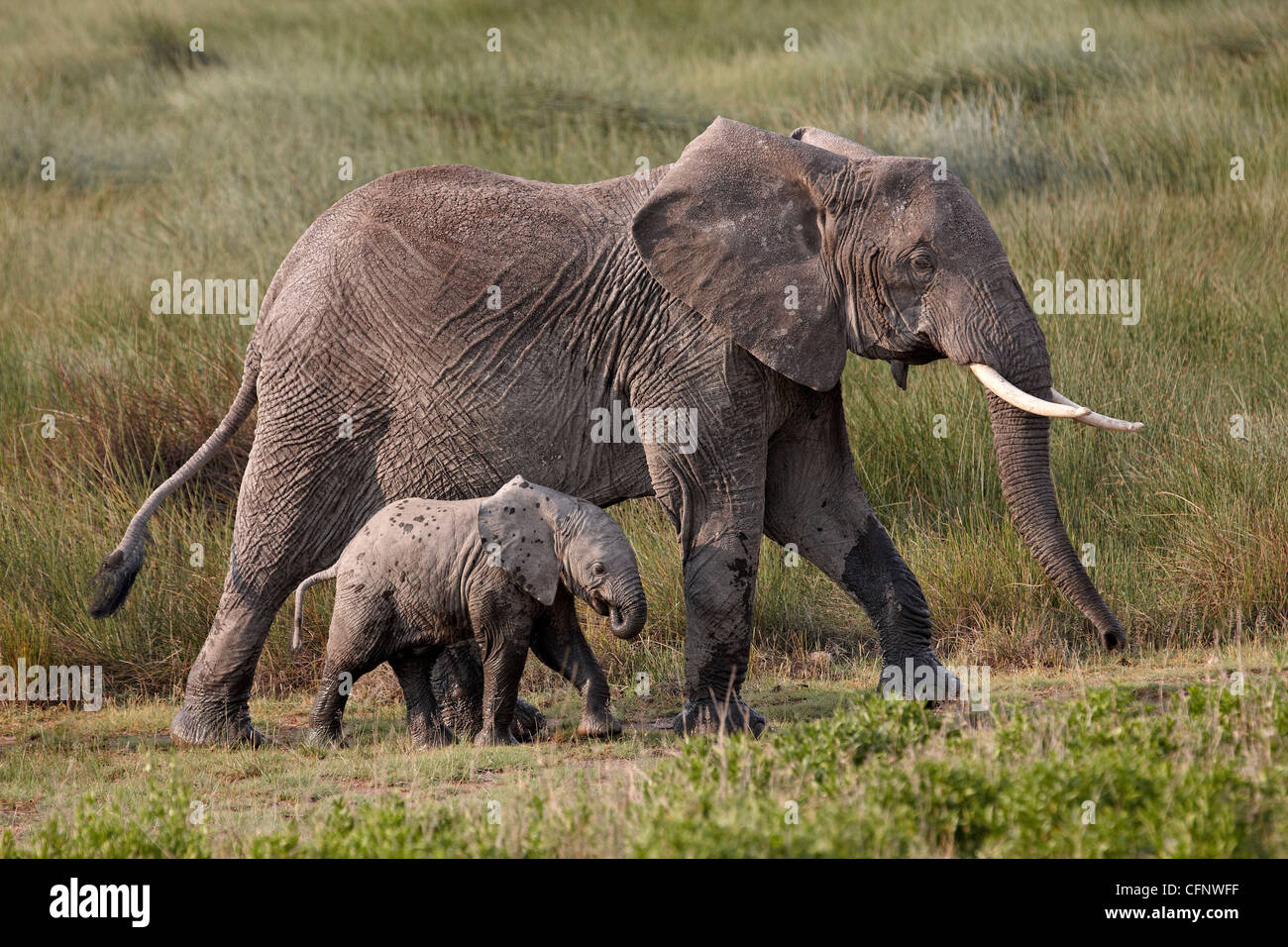 African elephant (Loxodonta africana) mother and baby, Serengeti National Park, Tanzania, East Africa, Africa - Stock Image