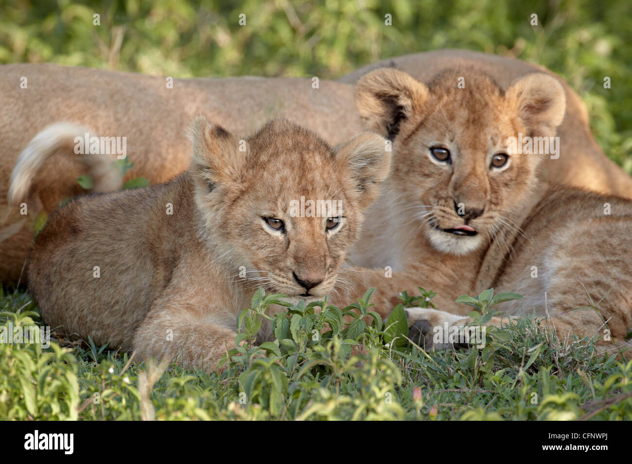 Two young lion (Panthera leo) cubs, Serengeti National Park, Tanzania, East Africa, Africa - Stock Image