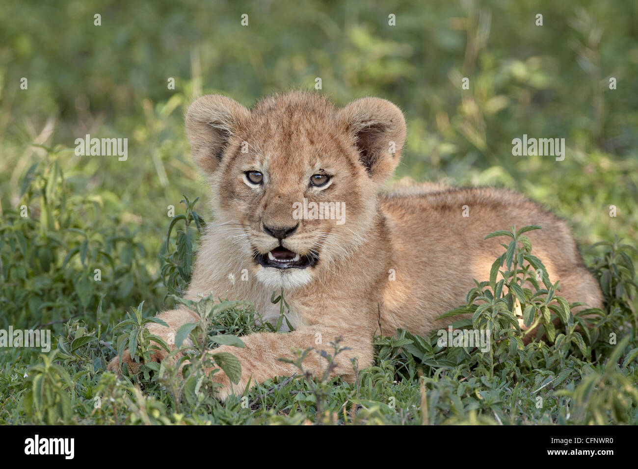 Young lion (Panthera leo) cub, Serengeti National Park, Tanzania, East Africa, Africa - Stock Image