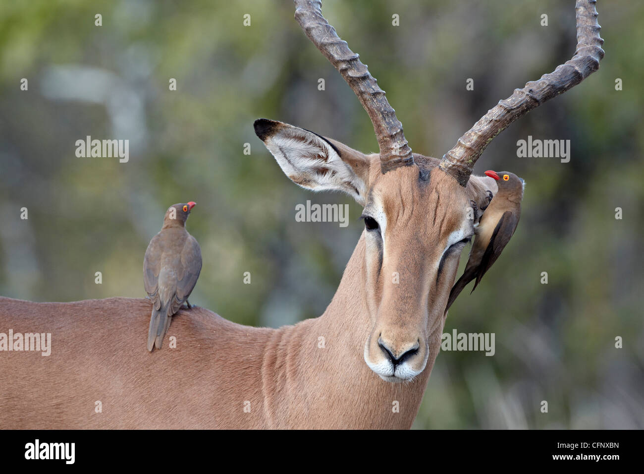 Male impala (Aepyceros melampus), Kruger National Park, South Africa, Africa Stock Photo