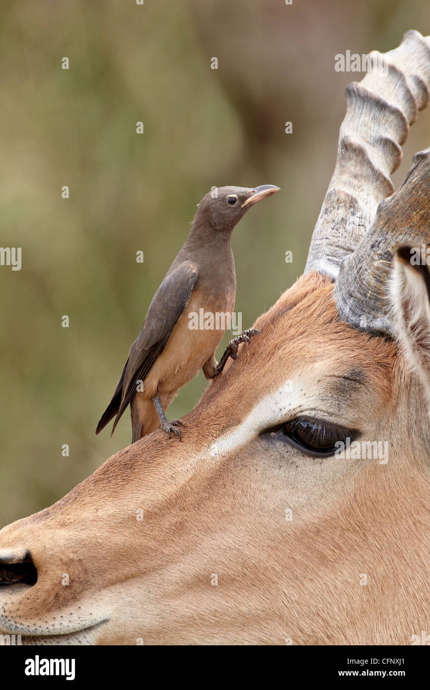 Immature red-billed oxpecker (Buphagus erythrorhynchus) on an impala, Kruger National Park, South Africa, Africa - Stock Image
